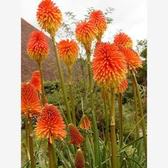 Red-Hot Poker, The Birds and the Bees: Growing a Garden That Will Attract Life