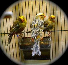 lizard canaries | Rare Lizard Canaries! Show Stock-We ship!