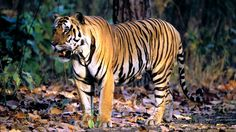 tiger wallpaper backgrounds hd