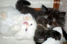 Royal Rascals Cattery