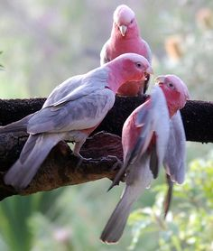 galah (Eolophus roseicapilla), also known as the rose-breasted cockatoo, galah cockatoo, roseate cockatoo or pink and grey [Australia] Pretty Birds, Beautiful Birds, Animals Beautiful, Cute Animals, Kinds Of Birds, All Birds, Love Birds, Exotic Birds, Colorful Birds
