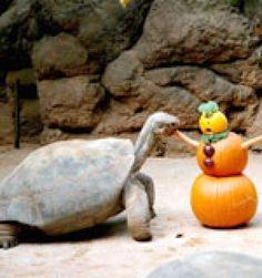 What tortoise could resist any variation of this? Extra bonus points if you hollow out the pumpkins and fill them in with hay! Tortoise Habitat, Tortoise Food, Sulcata Tortoise, Tortoise Care, Pumpkin Snowmen, Zoo Toys, Russian Tortoise, Zoo Keeper, Animal Habitats