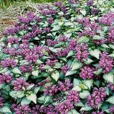 lamium, deadnettle. annual or perennial groundcover that can be invasive. Roots wherever stems touch ground. Could be that propagation is the reason this is vole resistant...grows and roots faster than they can destroy the roots?