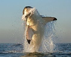 Witnessing a breaching great white shark is a spectacular sight and ...