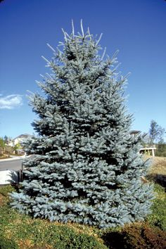 fat albert blue spruce - Very similar to the ones my Aunt Pat used to grow on her farm in MA. Don't love this Spruce, but options are limited! Estes Park Colorado, Aspen Colorado, Denver Colorado, Colorado Springs, Colorado Flowers, Colorado Landscaping, Front Yard Landscaping, Landscaping Ideas, Breckenridge Colorado