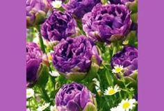 Fall Bulbs Tulip Blue Wow Large peony shaped blossoms like Ice Cream, but in a beautiful shade of deep purple.