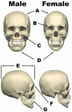 differences female male skull - Anatomy ...
