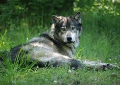 Good news for Wolves in Idaho
