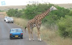 #kenya #tour #holiday #travel #packages #dubai Enjoy a 04 nights wildlife experience in Kenya tour packages, the most famous and richest safari destination in Africa & all over the world.