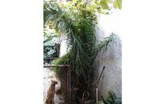 gran palmera palmito