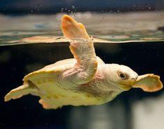 North Carolina Aquarium at PKS ~ NC ~ Nimbus, a rare white loggerhead sea turtle