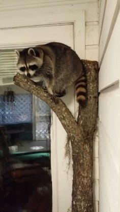This is Meeko and his tree limb. My Spirit Animal, My Animal, Wild Animals, Cute Animals, Pet Raccoon, Cutest Pets, Cute Creatures, Wild Life, Taxidermy