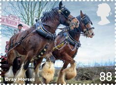 Royal Mail issues set of stamps saluting working horses ~ Shires from the Hook Norton Brewery in the Cotswolds appear on the 88p stamp. Hook Norton is one of the few independent breweries to still deliver beer by horse drawn dray to local pubs.  Horse & Hound