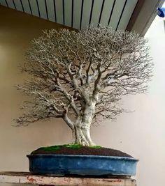 Wrigthia bonsaï