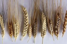 CIMMYT (International Wheat and Maize Improvement Centre) showing diversity of Turkish wheat landraces collected in 2012. Description from abc.net.au. I searched for this on bing.com/images Tudor Era, Tassel Necklace, Diversity, Centre, Grains, England, Dinner, Color, Jewelry