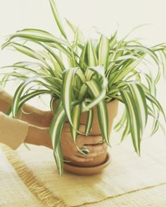 Air-purifying plants: Spider plants produce delicate white flowers and filter formaldehyde, benzene, and xylene.