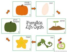 "Free pumpkin life cycle activity from Ms. Fultz's Corner. Great to use after reading the book ""Pumpkin Circle"""