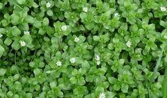 Korn, Vegetable Garden, Gardening Tips, Herbalism, Herbs, Vegetables, Health, Plants, Pharmacy