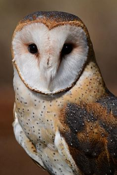 Barn Owl, photo by Jason Colaiaco at Imaging Resource Photo of the Day Contest - Pixdaus