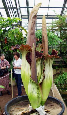 Botanischer Garten Bonn – Titan Arum Titanenwurz Amorphophallus - Another! Weird Plants, Unusual Plants, Rare Plants, Exotic Plants, Cool Plants, Strange Flowers, Unusual Flowers, Rare Flowers, Amazing Flowers