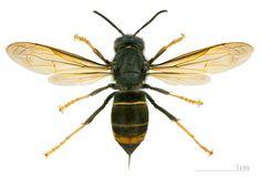 Originario del sud-est asiatico, è ampiamente diffuso in questa zona (India, Indocina, Cina e Giava). Recentemente, la prima registrazione risale al 2004, la sottospecie nigrithorax è stata introdotta nella zona meridionale della Francia. http://wp.me/p3FRPR-2g