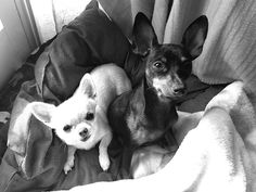 Perros pequeños Boston Terrier, Dogs, Animals, Art, Little Dogs, Art Background, Boston Terriers, Animales, Animaux