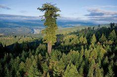 Saviez-vous que l'arbre le plus grand du Monde mesure 115 m de haut, soit la hauteur du 2ème étage de la Tour Eiffel ?