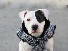 SKY - A1101489 - - Brooklyn  TO BE DESTROYED 01/23/17 A volunteer writes: This petite girl won my heart by instantly getting the hang of Sit, with just a gentle word and no treats! (Her cute little eye patch and wiggly gait didn't hurt either.) For such a young dog, Sky seems to have been tutored by Miss Manners herself: She seems housebroken, doesn't pull on the leash, takes treats gently, looks back often to reassure me we're still a team, and is so calm