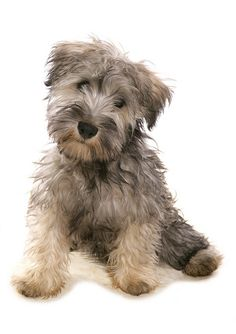 Shih Tzu schnauzer mix! Teddy bear puppy! doggies
