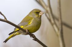 viherpeippo-reijo-lahteenmaki Greenfinch, Bird Houses, Finland, Natural Beauty, Tweet Tweet, Face, Nature, Helsinki, Beautiful Birds