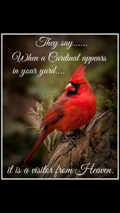 Heavenly cardinal
