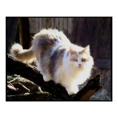 My Gorgeous Cat Veronica....  Dilute Calico Maine Coon Cat Poster
