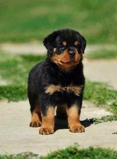 Rotweller Pup...Cute!
