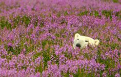 Polar Bear Playing in Summer Flowery Fields – Fubiz Media