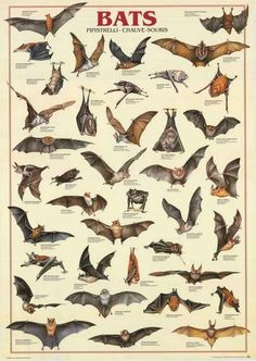 Bats are fascinating! A great poster of various Chiroptera - Perfect for classrooms and fans of nocturnal beasts! Fully licensed - 1997. Ships fast. 27x39 inche
