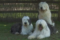 Old English Sheepdog Puppies Classifieds | Old English Sheepdog Puppies