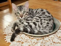 Bengal cats are cool