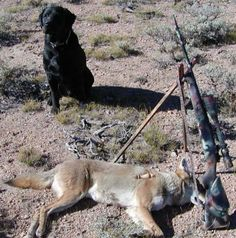 Varmint Al's Hunting Page. Our deer, and small animals are being ravaged by the reintroduction of these animals. As well as household pets, farm animals, and children. Coyotes and coywolves reproduce frequently and have huge litters. It's difficult keeping  their population under control.
