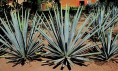 """Take a tour of the Casa Noble tequilera with owner José """"Pepe"""" Hermosillo and discover how the desert-dwelling agave transforms into the sweet nectar in your glass."""
