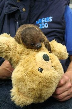 "A baby sloth at a zoo in the Netherlands is clinging to a new friend for dear life. A teddy bear given to a sloth named Sjakie (pronounced ""Sharkey"") at the Burgers' Zoo is helping to provide more than just a friend to cuddle. Baby Sloth, Cute Sloth, Super Cute Animals, Adorable Animals, Two Toed Sloth, My Spirit Animal, Four Legged, Baby Animals, Cartoons"
