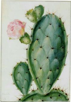 """""""Drawings of Flowering Plants. For the Marquis (sic) of Bute"""" by Georg Dionys Eh… """"Drawings of Flowering Plants. For the Marquis (sic) of Bute"""" by Georg Dionys Ehret includes this watercolor on vellum, which shows the Opuntia, or prickly pear. Cactus Drawing, Cactus Painting, Watercolor Cactus, Plant Drawing, Cactus Art, Painting & Drawing, Watercolor Paintings, Cactus Flower, Drawings Of Flowers"""