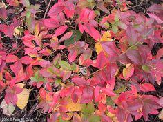 Vaccinium angustifolium (Lowbush Blueberry)  fall color
