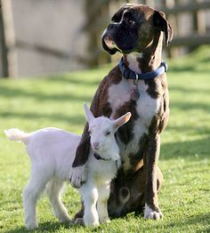 The pet dog has become a father figure to baby goat Lilly after she was tossed out by her mother.           'They sleep together and even clean each other,' said owner Katherine Tozer at her farm near Buckfast-leigh, Devon.