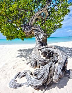 Divi Tree on Eagle Beach, Aruba, Chase and I sat next to this tree almost every day on our honeymoon ❤️