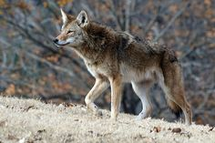 Berry College professor Chris Mowry is howling mad with the Georgia Department of Natural Resources for its spring and summer initiative to reduce the coyote population across the state. The Georgia Coyote Challenge started March 1 and continues through August.