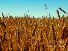 http://karen-wiles.artistwebsites.com bread,wheat,daily bread,oats,restaurants,crops,farms,farming,landscapes,
