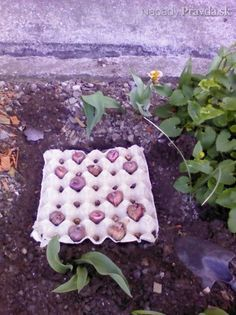 Sadenie gladiol do obalov od vajec (fotopostup) Spring Garden, Home And Garden, Gladioli, Lavander, Vegetable Garden, Gardening Tips, Flora, Backyard, Exterior