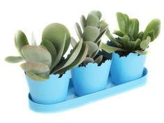 Save money by growing new succulents from an existing plant with easy steps from HGTV Gardens.