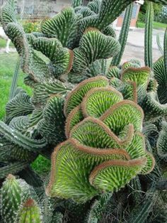 euphorbia cristata