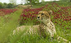 Au printemps, la floraison du trèfle donne au parc des guépards une allure exotique !